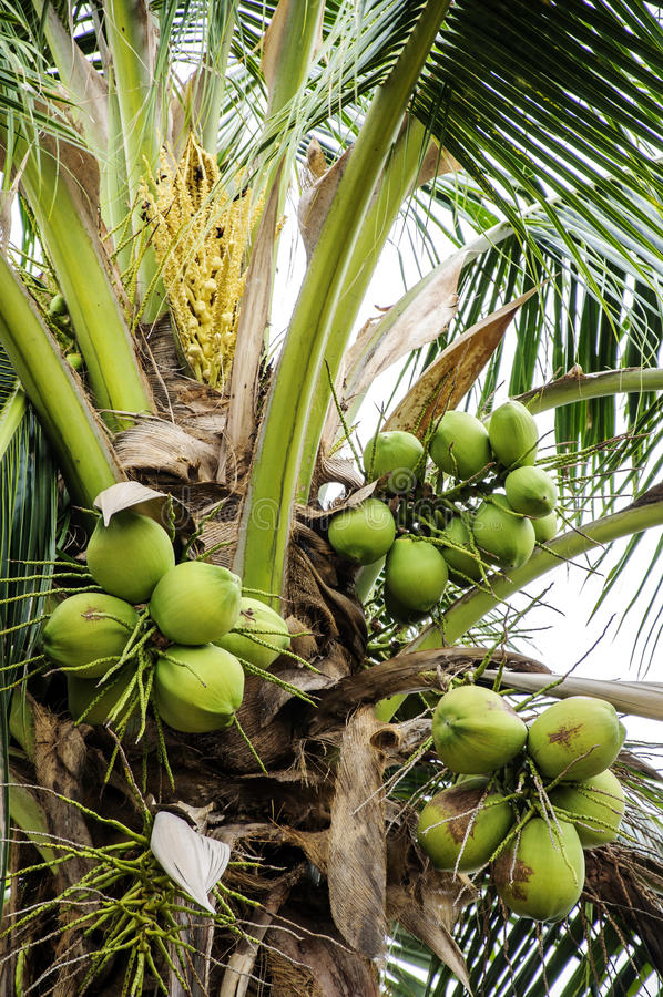 Download Bunch of coconuts stock image. Image of tropical, tree - 31555373