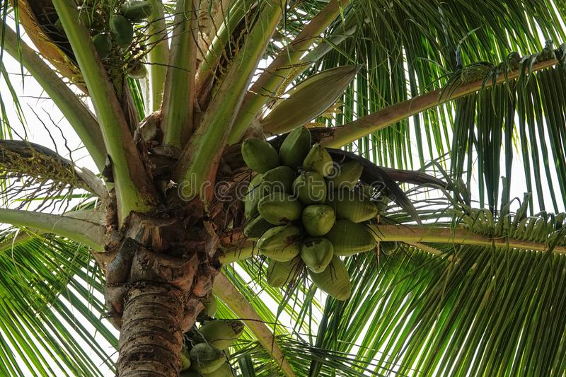 Bunch of Coconuts Under a Palm Tree royalty free stock photography