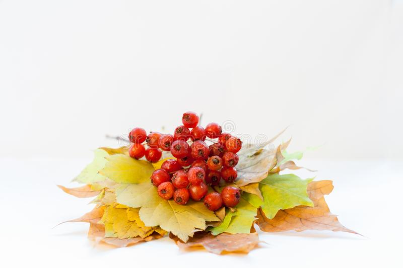 Bunch of autumn leaves and red hawthorn berries are lying on white background. royalty free stock photo