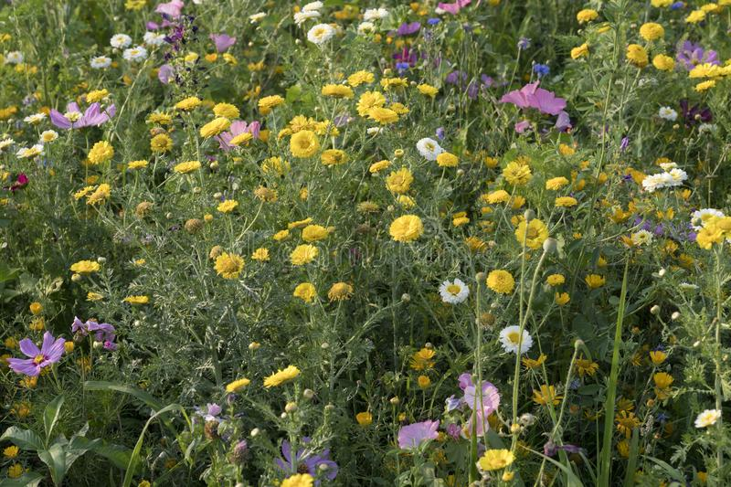 Bunch of colorful blossoming wildflowers at urban park, Milan, Italy royalty free stock image