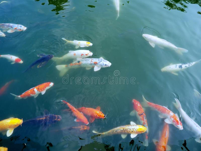 A bunch of colorful fishes swimming in pond. In spring stock photos