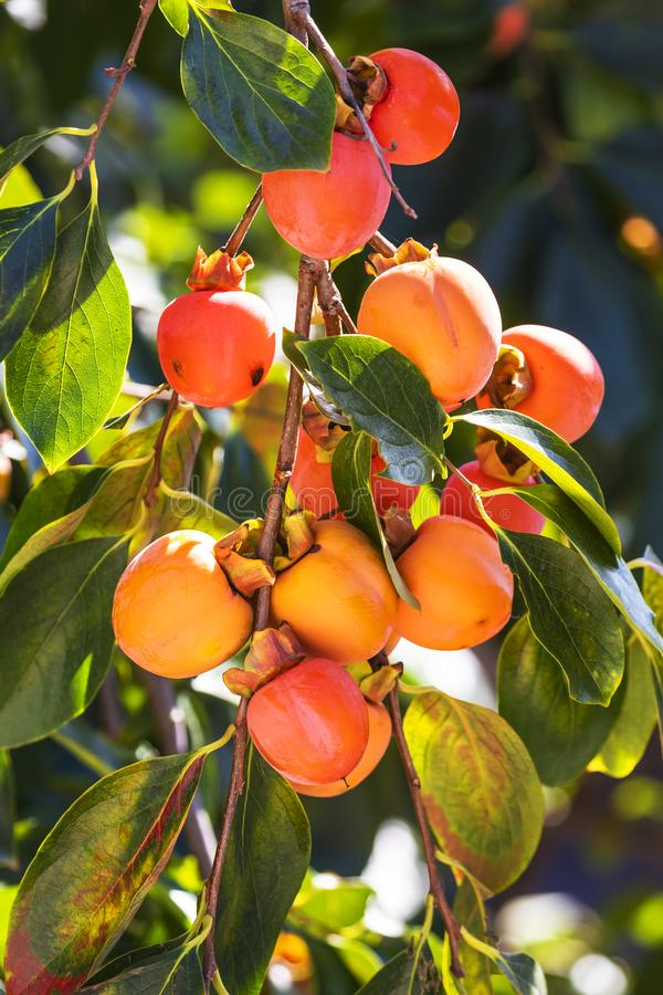 A Bunch of colorful persimmon fruits on the persimmon Tree. A Bunch of colorful persimmon fruits Cachi frutta In Italian Nameon the persimmon Tree, in Garden of royalty free stock photography