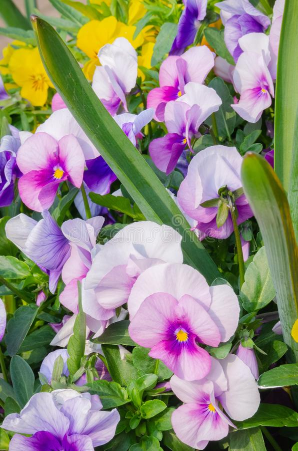 A bunch of colourful garden pansies, also known as violas. A close up image of a spray of garden pansies with a multitude of colours on display royalty free stock photo