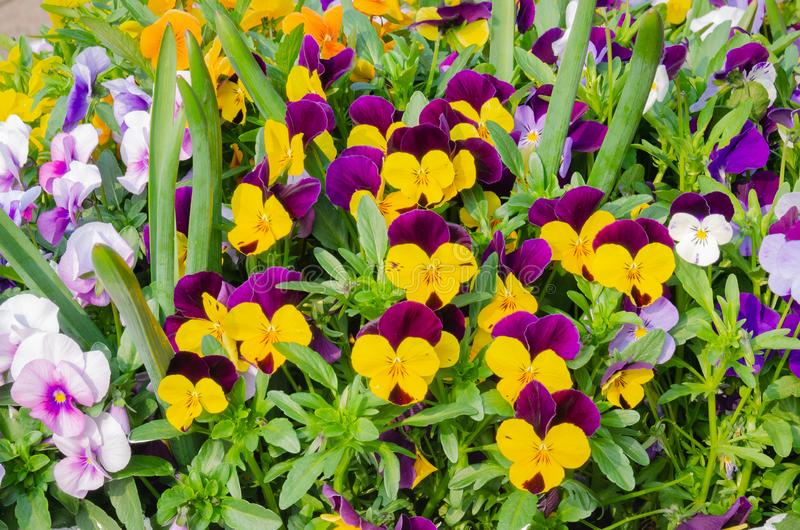 A bunch of colourful garden pansies, also known as violas. A close up image of a spray of garden pansies with a multitude of colours on display royalty free stock images