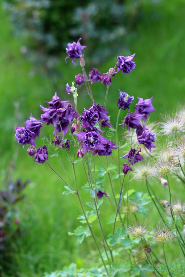 Bunch of Common columbine or Aquilegia vulgaris perennial plants with branched thinly hairy stems and beautiful layered blooming. Bunch of Common columbine or royalty free stock photos