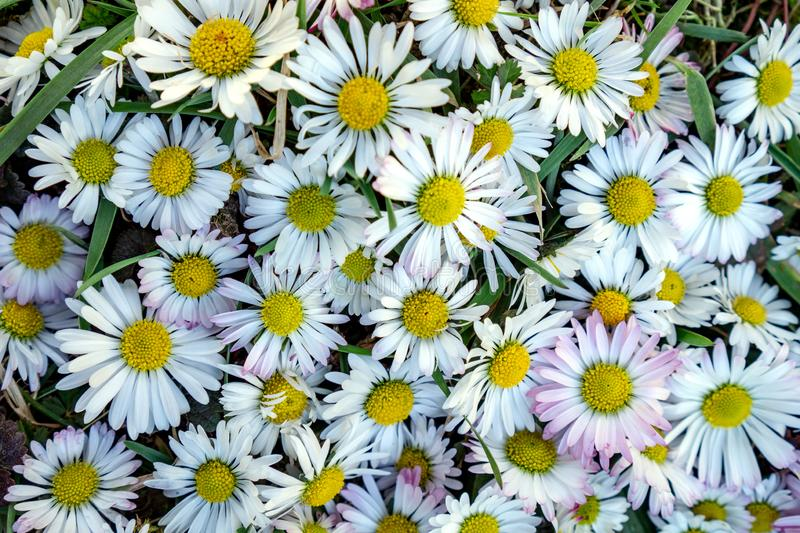 Bunch of common Daisy flowers full frame. Bunch of common Daisy Bellis perennis flowers full frame stock image