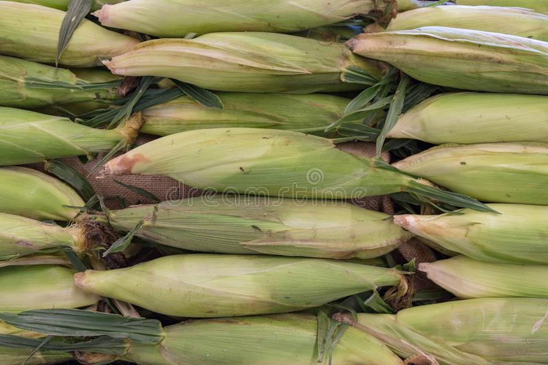 A bunch of corn maize ears as seen on a store shelf royalty free stock photos