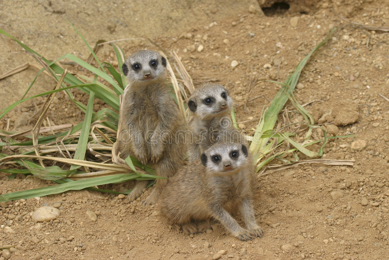 Download Bunch of curious meerkat stock photo. Image of meerkat - 2828742