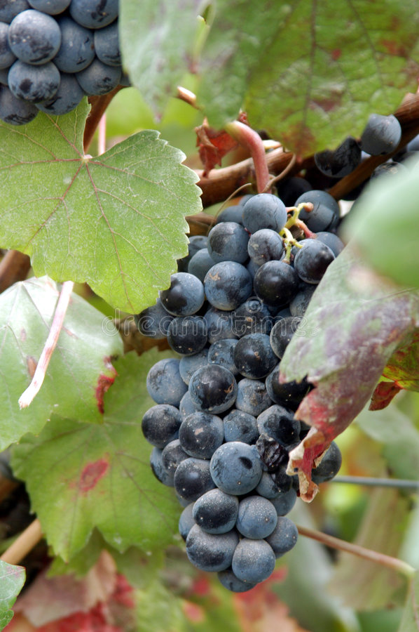 Bunch of dark blue grapes. Bunch of dark blue ripe grapes on leafy vine royalty free stock images