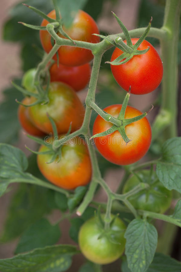 Download Bunch Of Delicious Red Tomatoes Stock Image - Image: 27496613