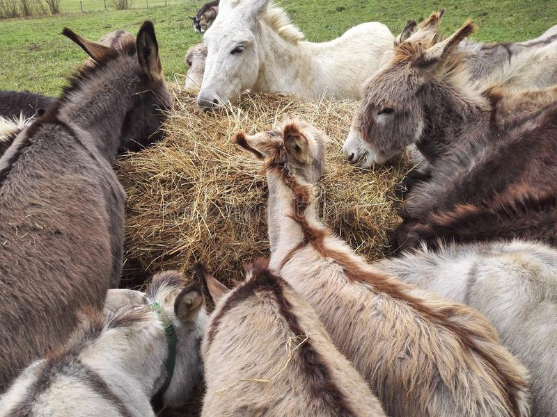 Bunch of donkeys eating stock photos