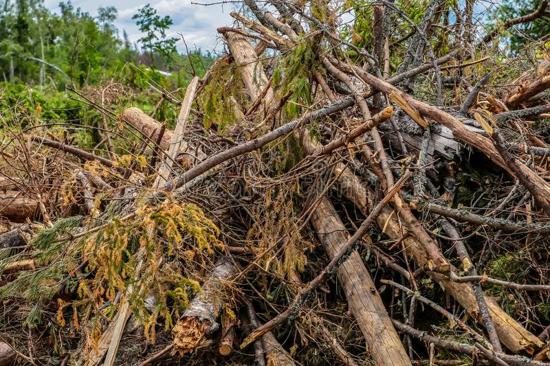 Bunch dry old branches trunk spruce impassable blockage cleaning the forest bad weather stock images