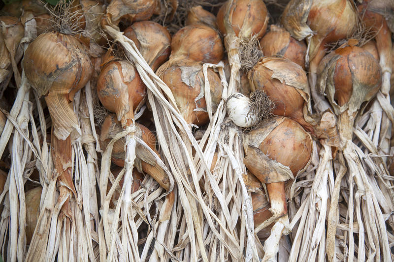 Bunch of drying onions royalty free stock images