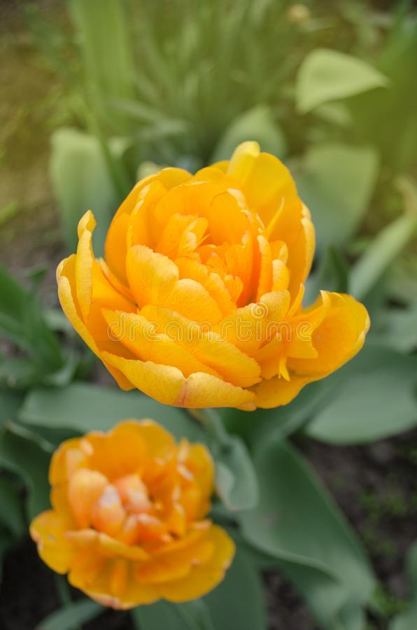 Bunch of duo double orange spring tulips. Tulips plant in garden. Double orange tulips blooming royalty free stock image