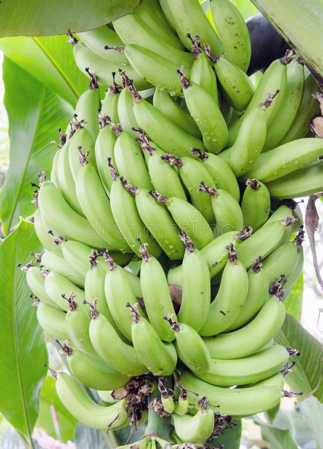 Bunch Dwarf Cavendish Banana Grove in Biltmore Estate Conservatory Greenhouse stock image