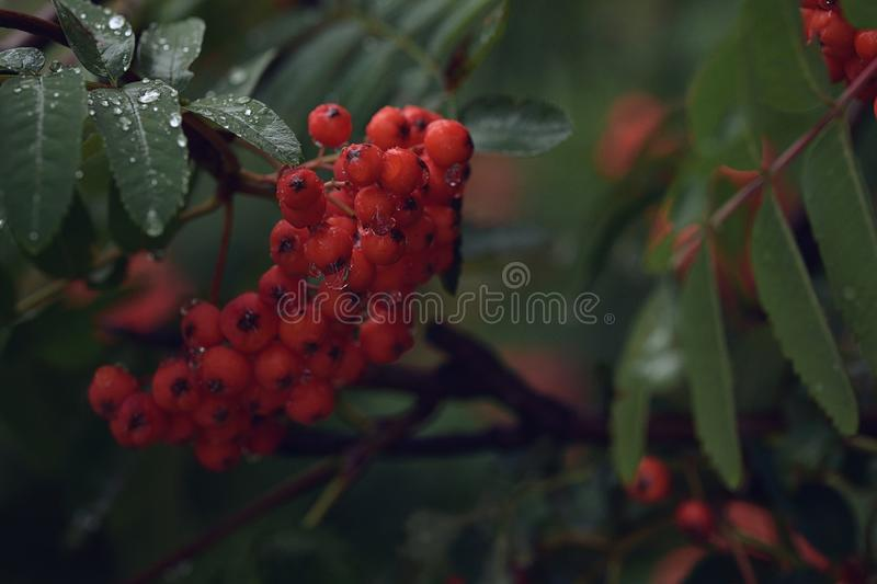 A bunch of early red mountain ash with blue leaves and raindrops stock photo