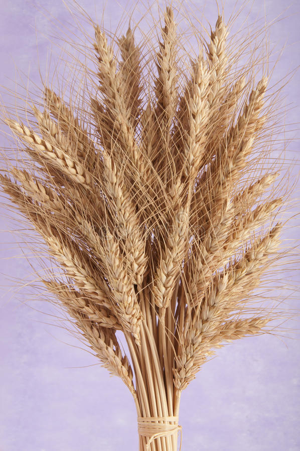 Bunch of ears of wheat royalty free stock images