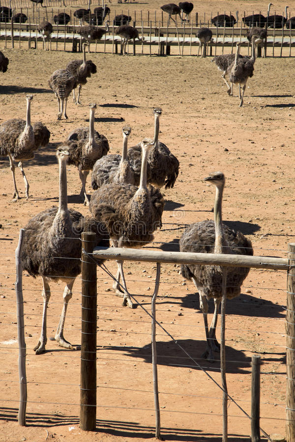 Female Ostriches royalty free stock photo