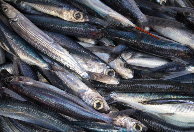 Bunch of fishes on seafood market. Fresh sea fish for sell. Small mackerel pile top view photo. stock images