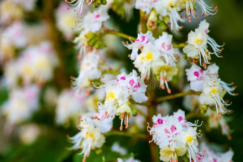 Bunch of flowers of the horse chestnut tree stock photo image of download bunch of flowers of the horse chestnut tree stock photo image of florescence mightylinksfo Gallery