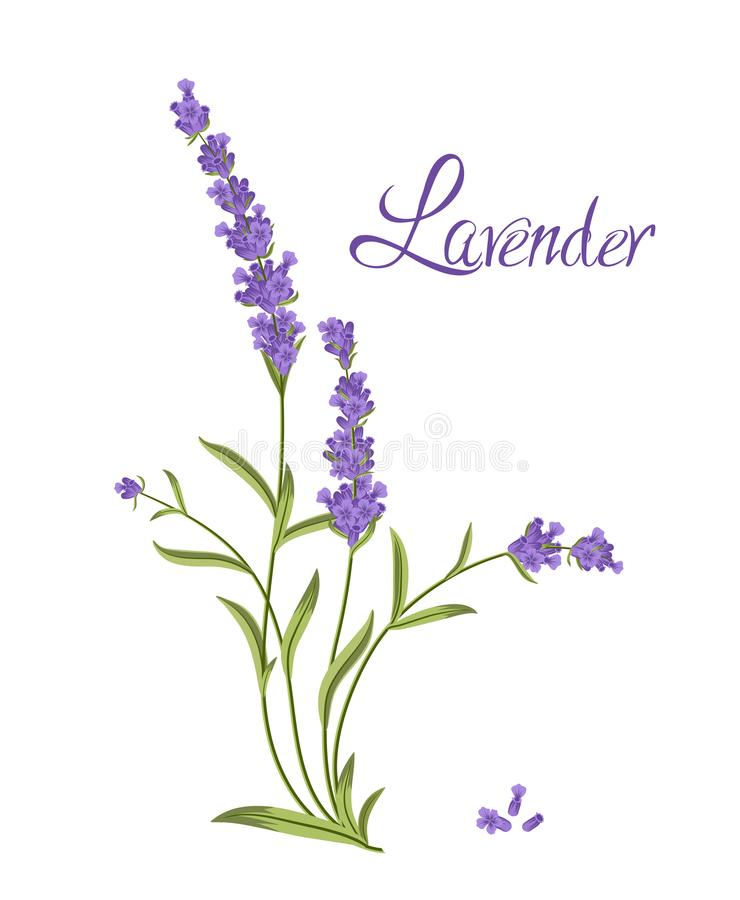 Bunch of flowers violet lavender, vector illustration. For packaging products containing lavender stock illustration