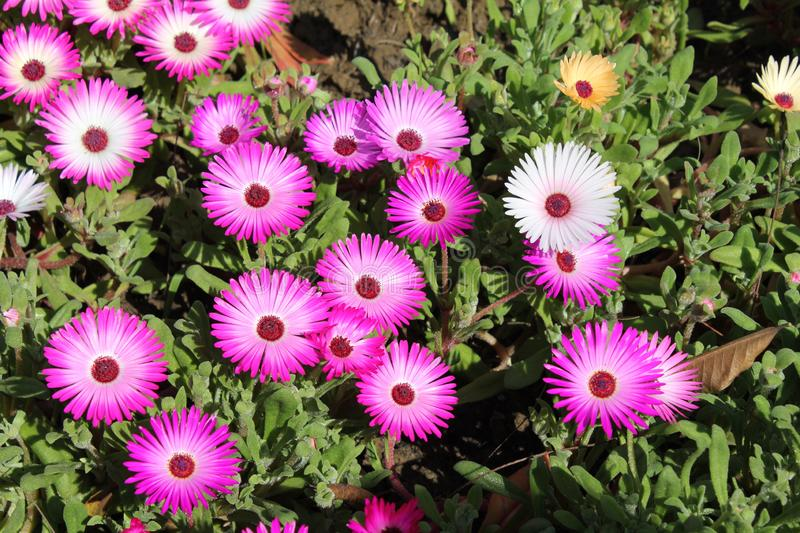 Bunch of flowers which grows in north india. Dark pink with white shades stock images