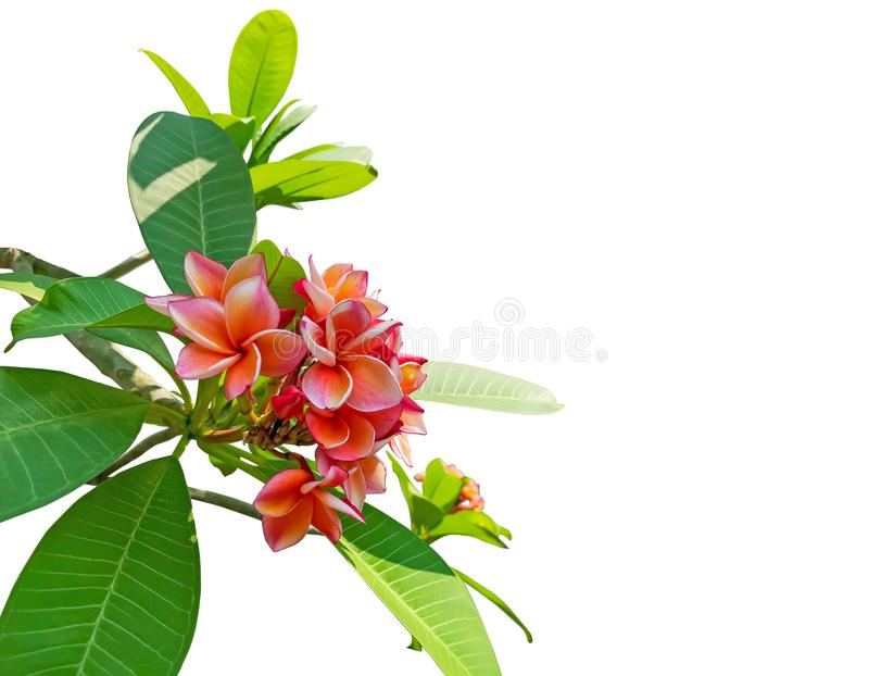 A bunch fragrant flowering plant isolated on white background, die cut with clipping path, beautiful orange petals Plumeria flower royalty free stock images