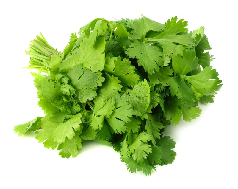 Bunch of fresh coriander leaves isolated on white background. Coriandrum sativum. cilantro stock photography