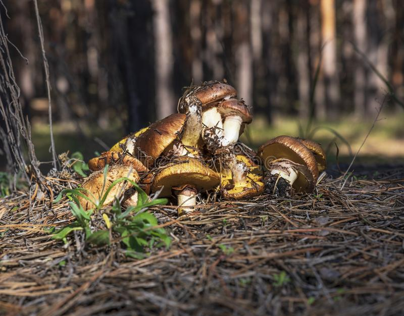 Bunch of fresh forest mushrooms Suillus luteus royalty free stock images