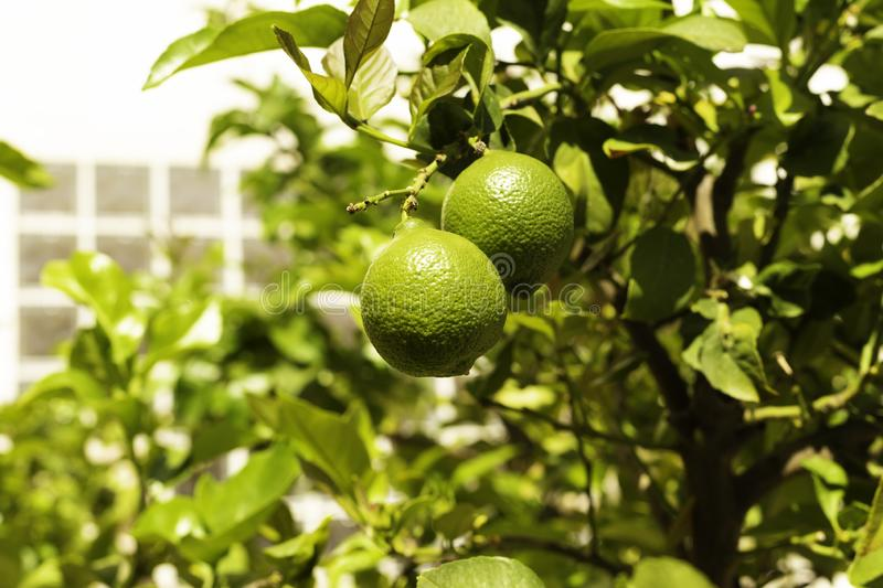 Bunch of fresh green lemons on a lemon tree branch in sunny garden stock photography