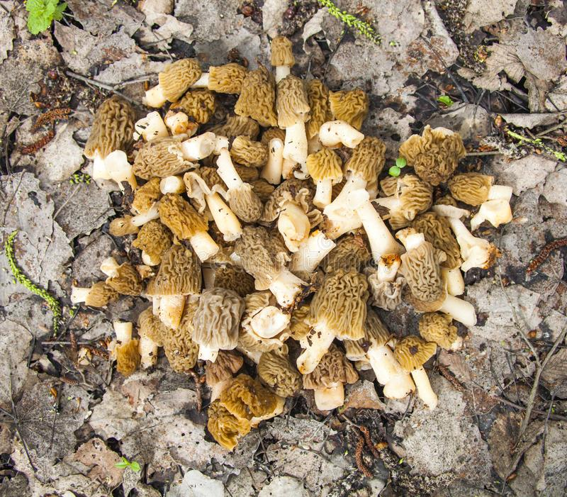 Bunch of morel mushrooms on fallen leaves stock photography