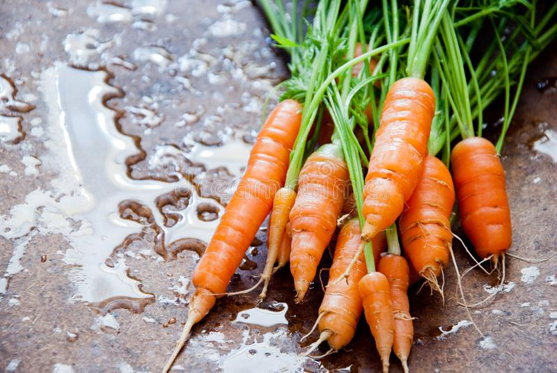 Bunch of fresh organic carrots with tops royalty free stock image