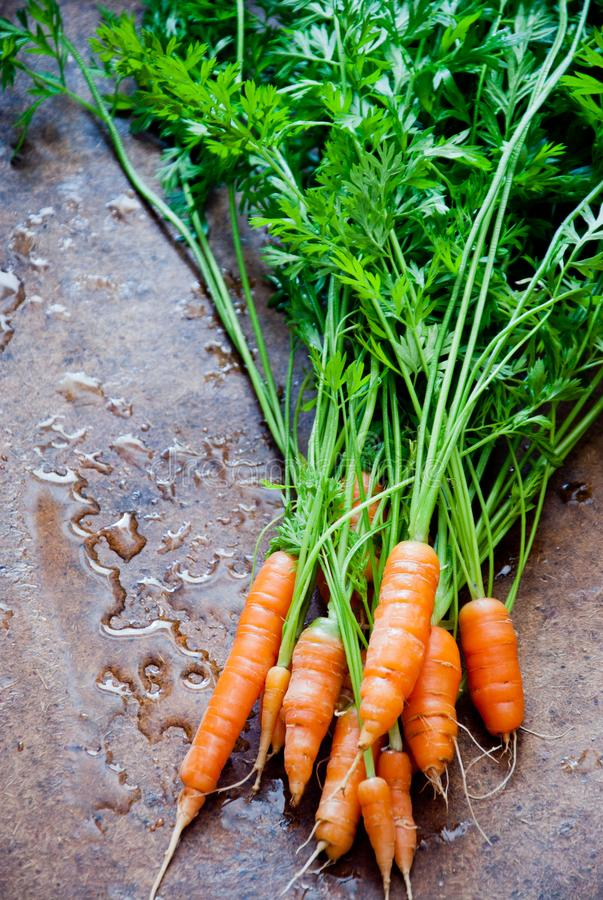 Bunch of fresh organic carrots with tops stock image