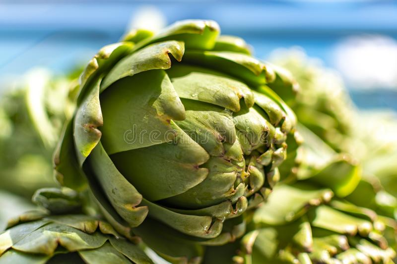 Bunch of fresh raw artichokes heads from artichoke plantation in Argolida, Greece ready to cook. Bunch of fresh raw artichokes heads from artichoke plantation royalty free stock images