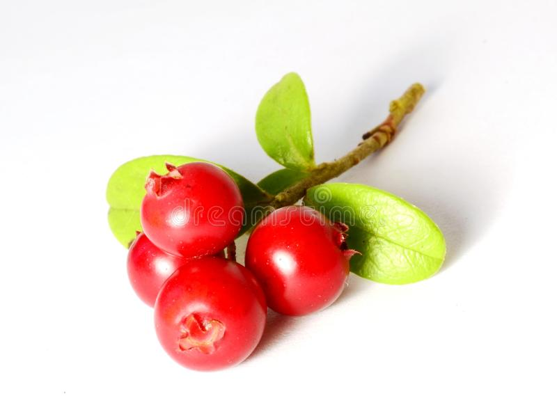 Bunch of fresh ripe cranberries or cowberries on white stock images