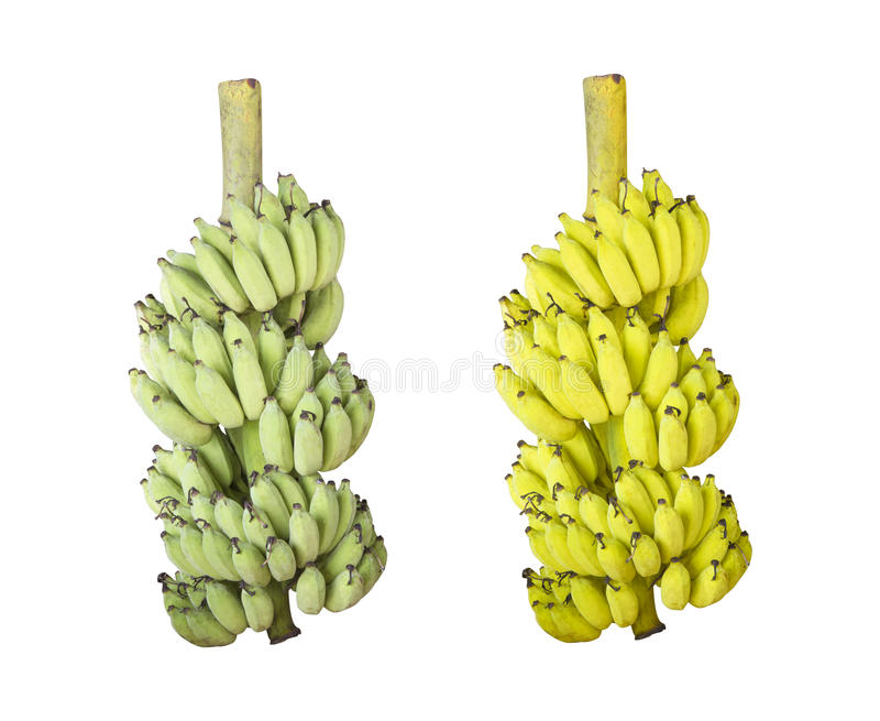 Bunch of fresh and ripe Cultivated banana isolated stock photography