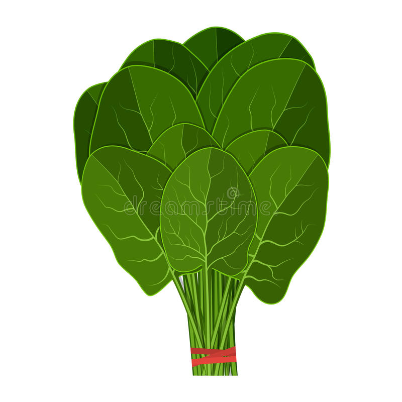 Bunch of fresh spinach close up. vector illustration