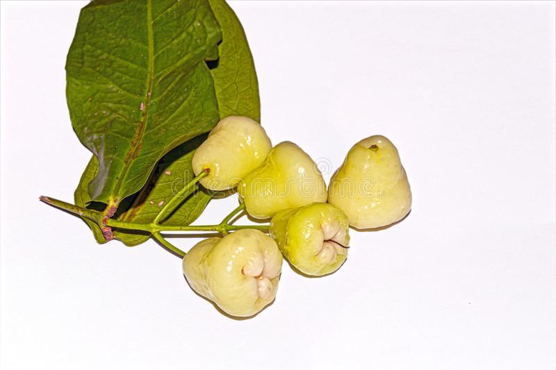 A bunch of fresh and sweet Indian white Syzygium samarangense or java apple or wax apple fruit on white isolated background. With green leaves.Selective focus royalty free stock photo