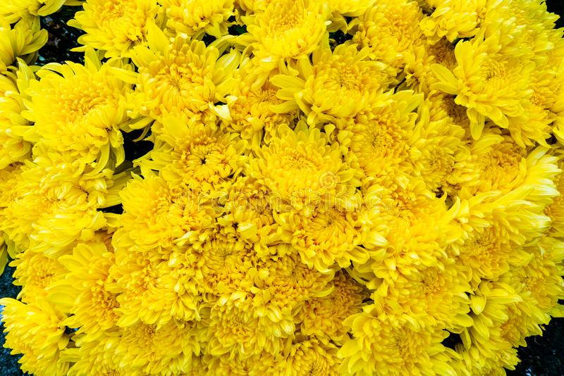 Bunch of fresh yellow aster or chrysantemum flowers found at a flower market in the city. royalty free stock photo