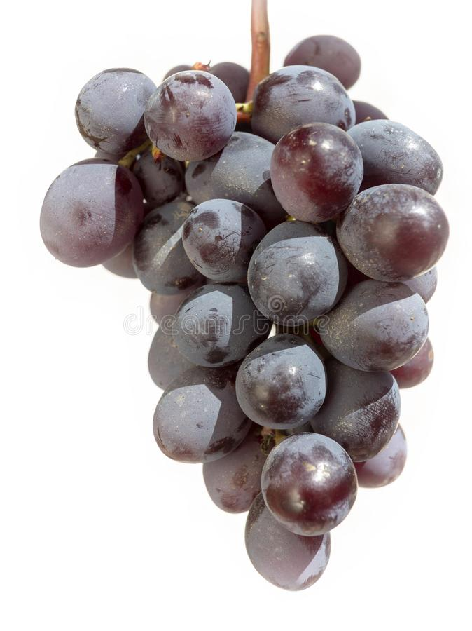 Bunch of freshly harvested black grapes stock image