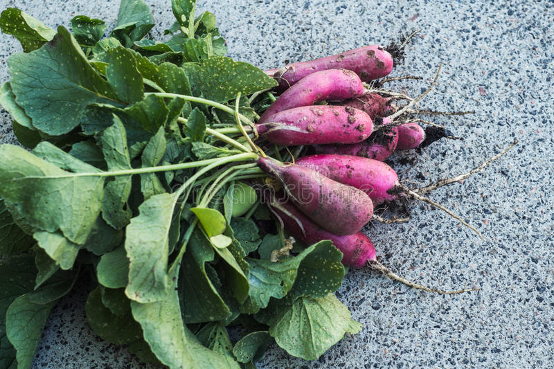 Bunch of freshly picked radishes on gray background royalty free stock images