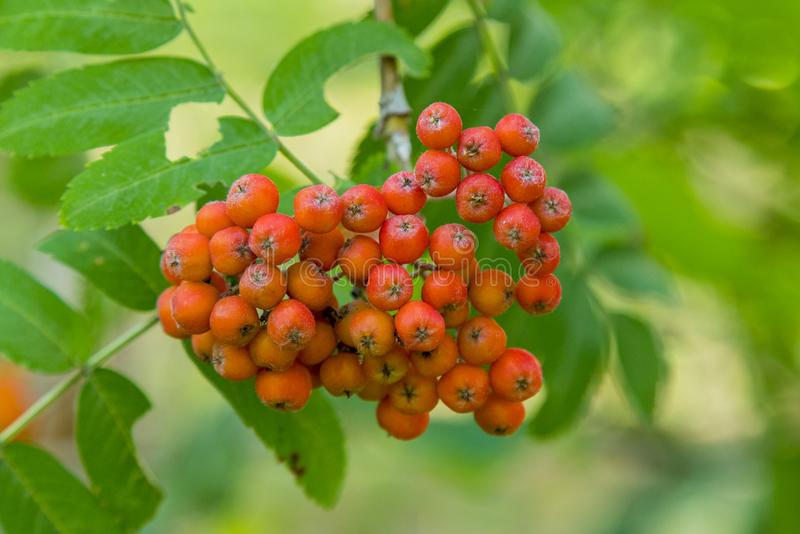 A bunch of fruits of red mountain ash. Rowan berries, Mountain ash (Sorbus) tree with ripe berry.  royalty free stock images