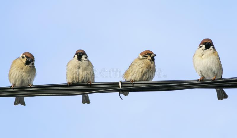 Bunch of funny little sparrows sitting on the black wire on the stock images