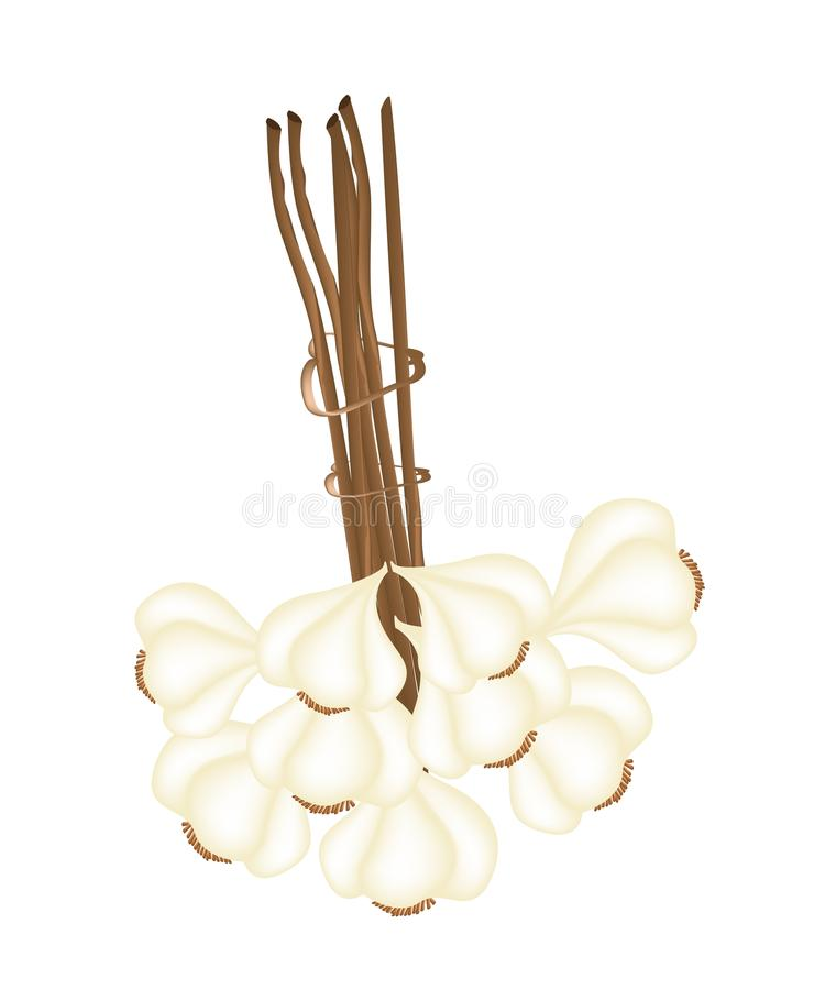 A Bunch of Garlic on White Background. Vegetable and Herb, Vector Illustration of A Bunch Bundle of Dried Garlic Bulbs Used for Seasoning in Cooking stock illustration