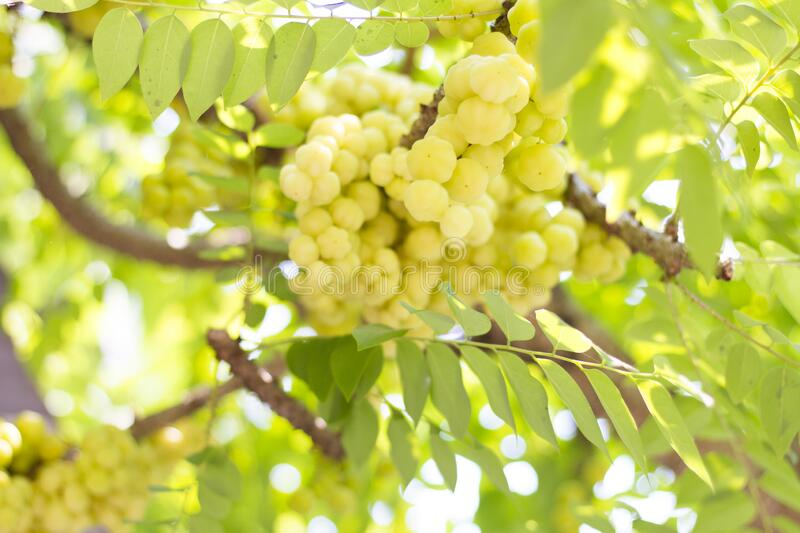 Bunch gooseberry fruit stock images