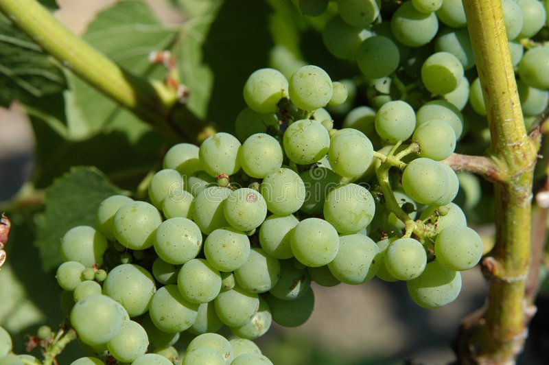 Download Bunch Of Grapes Stock Images - Image: 11794