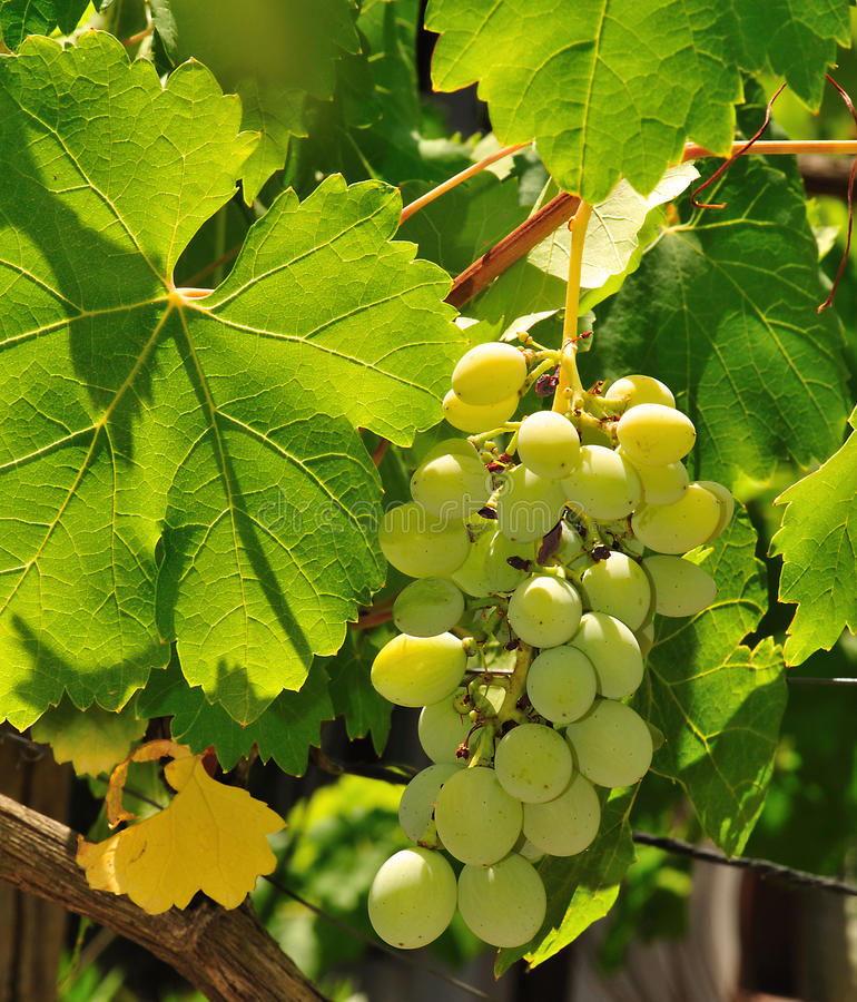 Download Bunch of grapes 2 stock photo. Image of berries, agriculture - 10584358