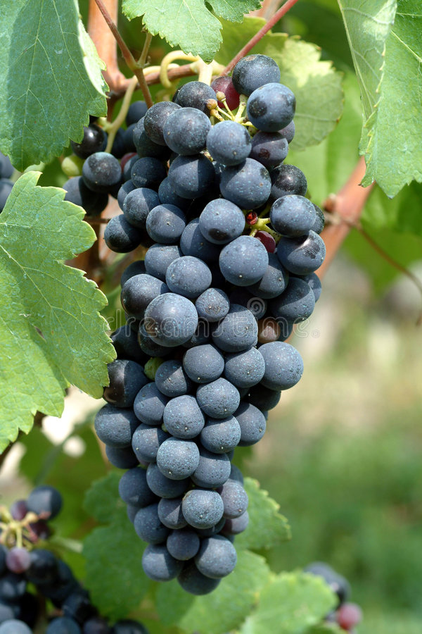 Download A bunch of grapes stock image. Image of bright, green - 2250411