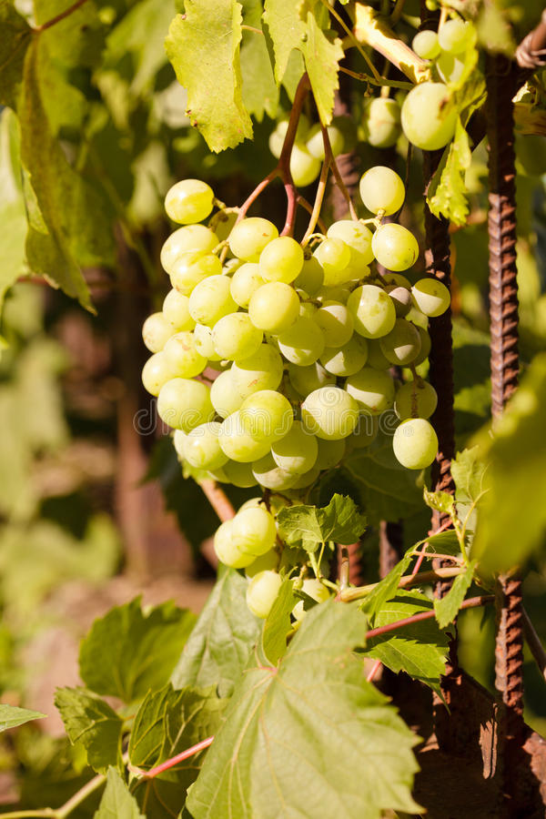 Download Bunch Of Grapes Royalty Free Stock Photography - Image: 23395977