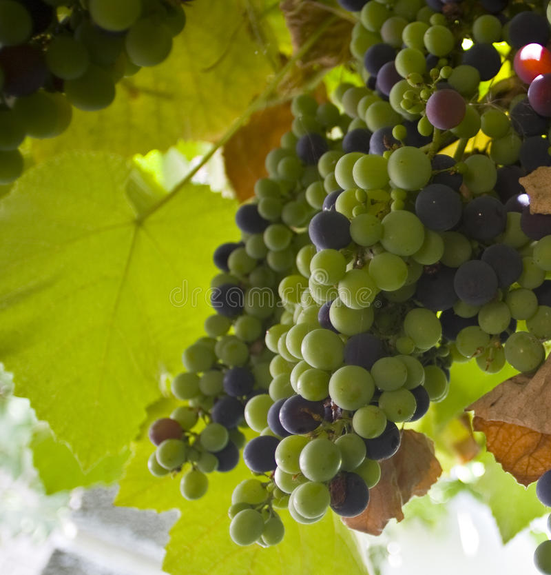 Download Bunch of grapes stock photo. Image of agriculture, bunch - 26662198